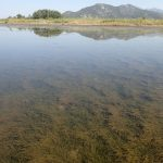 Meadow of Cymodocea nodosa and Zostera nolteii in the estuary of the Neretva River